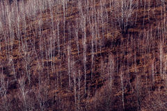 Birch trees in the mountains Stock Photos