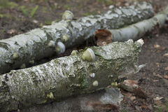Birch trees with mushrooms Stock Photography