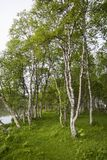 Birch trees. From the north of sweden Stock Photos