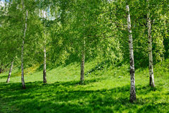 Birch Trees in Novodevichy Park. MOSCOW, RUSSIA - Birch Trees in Novodevichy Park in a Spring Season Stock Images