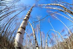 Birch trees over blue sky Stock Images