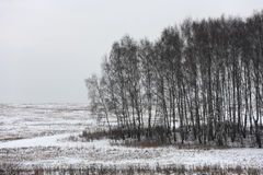 Birch trees on an overcast day Stock Images