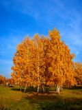 Birch trees in the park in autumn. Tall birch trees with yellow foliage in autumn against a cloudy blue sky royalty free stock photos