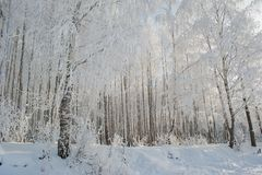 Birch trees park. In winter snow royalty free stock photos