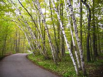 Birch trees on a path Stock Photo