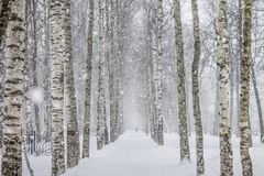 Birch trees path in .the park Royalty Free Stock Image