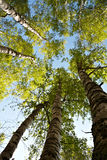 Birch trees perspective. Vertical perspective within a dense forest of birch trees Stock Photo