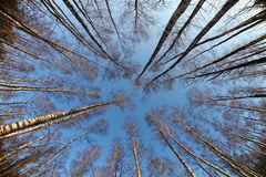 Birch trees photographed from below, early spring Royalty Free Stock Image