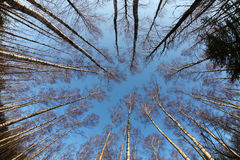 Birch trees photographed from below, early spring Stock Photo