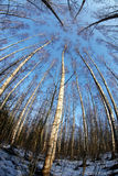 Birch trees photographed from below, early spring Stock Photos