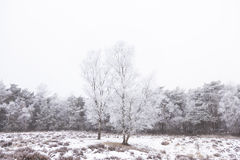 Birch trees and pine forest covered in rhime and snow Stock Photography