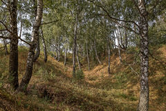 Birch trees in a ravine. Royalty Free Stock Images