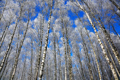 Birch trees in rime on a clear winter day Royalty Free Stock Photo