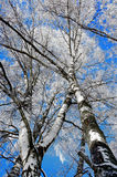 Birch trees with rime frost stock image