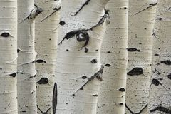 Birch trees in a row close-up of trunks Royalty Free Stock Photography