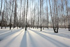 Birch trees in the setting sun in the winter park Royalty Free Stock Image