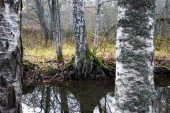 Birch trees by small stream Stock Photo