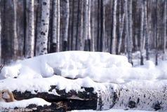 Birch trees in snow Royalty Free Stock Photos