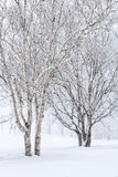 Birch Trees in Snow Royalty Free Stock Photos