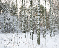 Birch trees in snow Royalty Free Stock Images