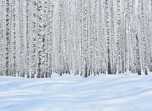 Birch trees in snow Royalty Free Stock Image