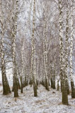 Birch trees and snow Royalty Free Stock Photo