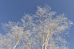 Birch Trees with Snow and Ice Crystals Stock Images
