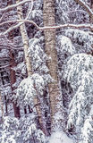 Birch trees after snow storm Royalty Free Stock Images
