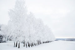 Birch trees in a snowy forest black and white Stock Photos