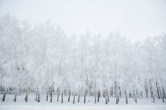 Birch trees in a snowy forest black and white Royalty Free Stock Photo