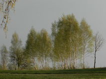 Birch-trees. Some birch-trees illuminated by aftrernoon sun on the background of cloudy sky Royalty Free Stock Photography