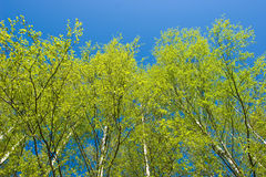Birch trees at spring Royalty Free Stock Photography