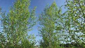 Birch trees in the spring with blue sky. Birch trees in the forest during spring with blue sky stock video