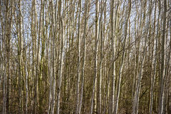 Birch trees. In spring Cheshire UK Royalty Free Stock Image