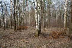Birch trees in spring fores Stock Image