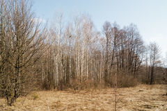 Birch. Trees in spring forest on background of blue sky Royalty Free Stock Photography