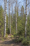 Birch trees in spring forest Royalty Free Stock Photography