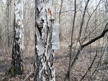 Birch trees in spring forest Stock Photo