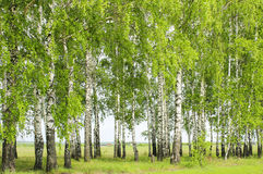 Birch trees in spring Royalty Free Stock Photos