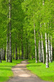 Birch trees Royalty Free Stock Photo
