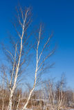Birch trees in spring time Royalty Free Stock Photo