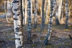 Birch trees in spring Stock Image