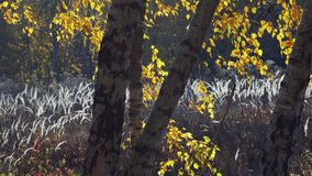 Birch Trees Standing In A Dry Grass Meadow. Falling Yellow Leaves Of Birch Trees Standing In A Dry Grass Meadow In Autumn At Sunset stock video