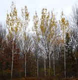 Birch trees. Standing tall and straight Royalty Free Stock Photography