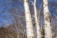 Birch trees stem Stock Photography