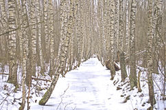 Birch trees and stream covered by ice Royalty Free Stock Image