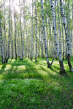 Birch trees in summer. Birch trees with long shadows in summer Stock Images