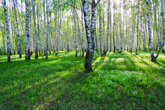 Birch trees in summer. Birch trees with long shadows in summer Royalty Free Stock Photos