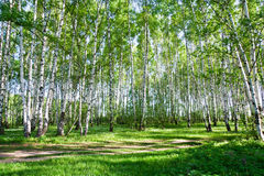 Birch trees in summer. Birch forest on a bright sunny day Stock Images