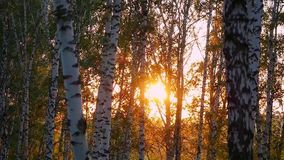 Birch trees in a summer autumn forest during beautiful sunset in slowmotion. 1920x1080 stock video